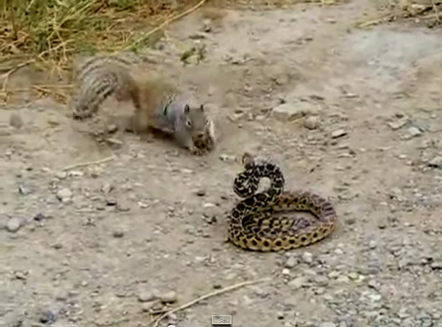 1298321091-squirrel-attacking-snake