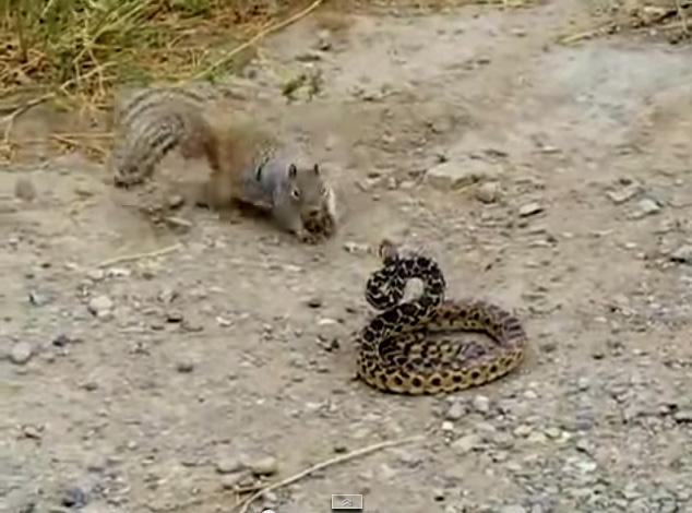 1298321091-squirrel-attacking-snake