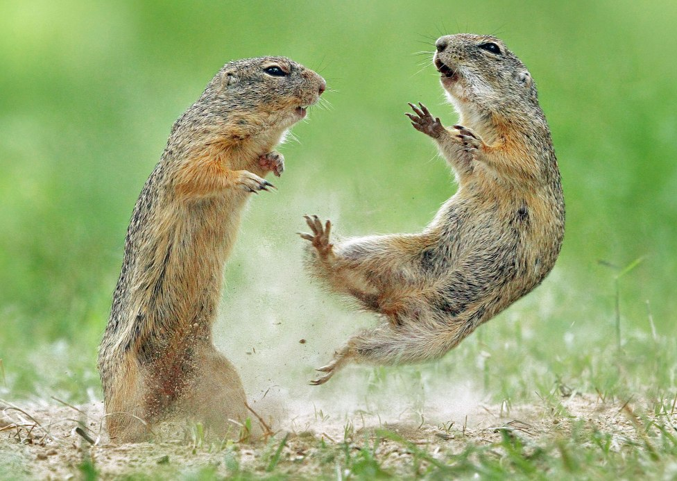 Pic by Julian Rad/Caters News - (Pictured: Austria 11/06/2018 A pair of ground squirrels have a tussle.) - These dramatic images show the moment a bitter feud erupted between a group of squirrels. Captured by 27-year-old Julian Rad, photographer in Austria, the pictures show a group of squirrels fighting with one another. SEE CATERS COPY