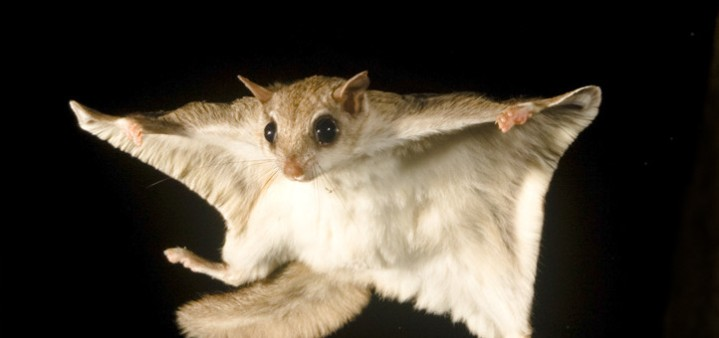 southern-flying-squirrel-raleigh-nc-remove-722x340