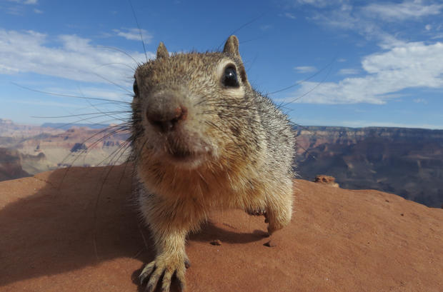 GRAND CANYON NATIONAL PARK, AR - JULY 13: A squirrel stands at the South Keibab Trail at the Grand Canyon South Rim on July 13, 2014 at Grand Canyon National Park, Arizona. The Grand Canyon is among the state's biggest tourist destinations. (Photo by Sean Gallup/Getty Images)